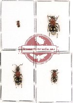 Scientific lot no. 33 - (Mutillidae) 4pca (2pcs A2)