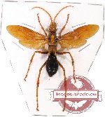 Scientific lot no. 35 - (Pompilidae) 1pc