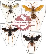 Scientific lot no. 36 - (Pompilidae) 4 pcs A-