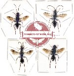 Scientific lot no. 37 - (Ampulicidae) 4pcs