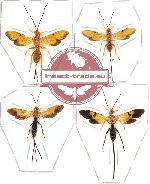 Scientific lot no. 39 (Ichneumonidae) 4pcs  (1pc A2)