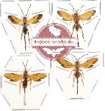 Scientific lot no. 40 - (Ichneumonidae) 4pcs (2pcs A2)
