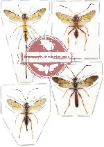 Scientific lot no. 41 - (Ichneumonidae) 4pcs