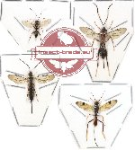 Scientific lot no. 42 - (Ichneumonidae) 4 pcs