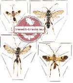 Scientific lot no. 43 - (Ichneumonidae) 4 pcs : (3pcs A2)