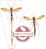 Scientific lot no. 45 - (Ichneumonidae)