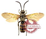Scoliidae sp. 6 (SPREAD) (10 pcs)