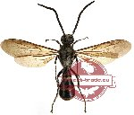 Scoliidae sp. 7 (SPREAD)
