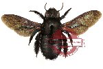 Xylocopa sp. 1 (SPREAD) (10 pcs)