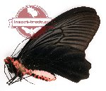 Atrophaneura aidoneus Doubleday, 1845 (A-)
