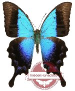 Papilio pericles (A-)