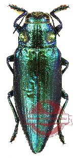 Chrysodema (s.str.) radians - green/blue