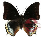 Charaxes eurialus (A-)
