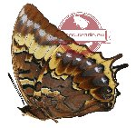 Charaxes eurialus (A2)