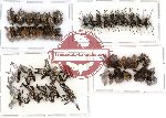 Scientific lot no. 42 Curculionidae (45 pcs)