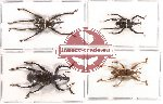 Scientific lot no. 40 Curculionidae (4 pcs)