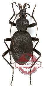 Cychrus caraboides
