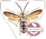 Scoliidae sp. 9 (SPREAD) (10 pcs)