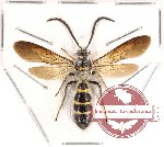 Scoliidae sp. 10 (SPREAD)