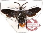 Scoliidae sp. 13 (SPREAD) (5 pcs)