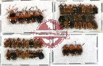 Scientific lot no. 51 Chrysomelidae (51 pcs)