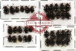 Scientific lot no. 11 Endomychidae (Encymon spp.) (36 pcs)
