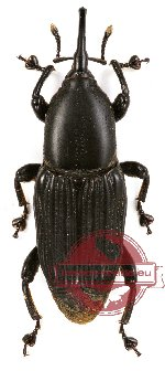 Curculionidae sp. 44 (brown or black form) (2 pcs)