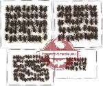 Elmidae sc. lot no. 7 (235 pcs)