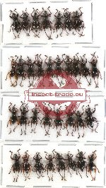 Scientific lot no. 44 Curculionidae (33 pcs)