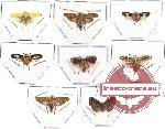 Scientific lot no. 10 (Homoptera) (8 pcs)