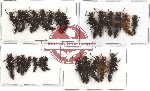 Scientific lot no. 22 Staphylinidae (26 pcs)