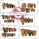 Scientific lot no. 10 Lycidae (50 pcs A, A-, A2)
