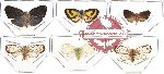 Scientific lot no. 11 Homoptera - Nogodiniidae (6 pcs - 1 pc A2)
