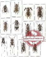 Scientific lot no. 29 Anthribidae (12 pcs - 4 pcs A2)