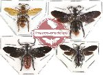 Scientific lot no. 48 Scoliidae (4 pcs)