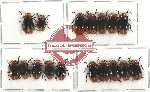 Scientific lot no. 48 Chrysomelidae (17 pcs)