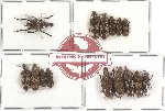 Scientific lot no. 30 Anthribidae (15 pcs)