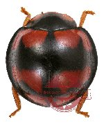 Coccinelidae sp. 1