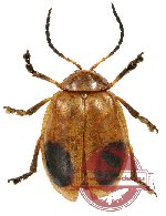 Chrysomelidae sp. 39