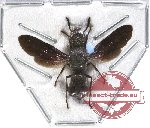 Eumenidae sp. 7 (SPREAD)