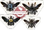Scientific lot no. 10A Xylocopa mix sp. (4 pcs)