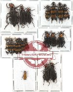 Scientific lot no. 10 Meloidae (19 pcs - 1 pc A2)