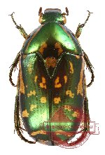 Poecilopharis uniformis Waterhouse, 1884