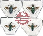 Scientific lot no. 5 Chrysididae (4 pcs - 1 pc A2)