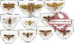 Scientific lot no. 13 Homoptera (10 pcs)