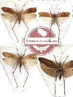 Scientific lot no. 8 Orthoptera (4 pcs) (3 pcs A-)