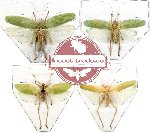 Scientific lot no. 6 Orthoptera (4 pcs) (1 pc A, 2 pcs A-, 1 pc A2)