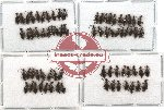 Anthicidae Scientific lot no. 5 (71 pcs)