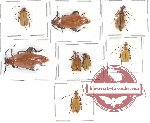 Scientific lot no. 1 Meloidae (8 pcs)