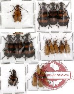 Scientific lot no. 3 Meloidae (18 pcs)